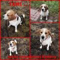 Beagle TAMI szuka Prawdziwej Rodziny