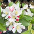 Jabłoń ozdobna kulista Courtabri Pom Zai sadzonka 60cm krzew kwiaty owoce