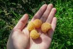 Malina Żółta Poranna Rosa sadzonka 50cm krzewy owocowe